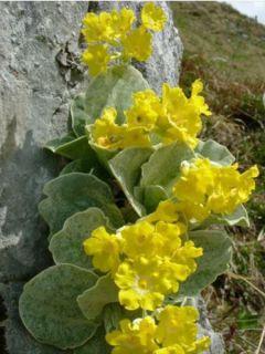Primula auricula en mélange (Primula x pubescens) - Oreille d'ours