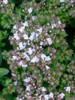 Origan commun ou Marjolaine - Origanum vulgare Compactum