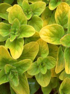 Origanum vulgare Aureum - Origan doré