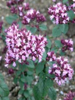 Origanum hybride Rosenkuppel, Origan, Marjolaine
