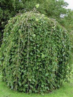 Orme à petites feuilles 'Pendula'