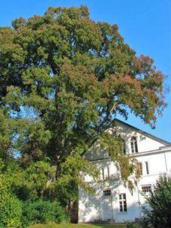 Ulmus carpinifolia Pendula - Orme pleureur