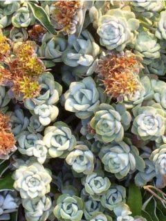 Sedum spathulifolium Cape Bianco