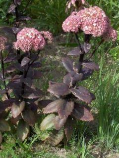 Sedum Stewed Rhubarb Mountain - Orpin