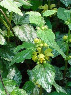 Ortie jaune 'Florentinum'