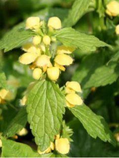 Ortie jaune - Lamiastrum galeobdolon