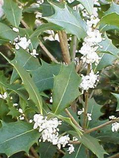 Osmanthus heterophyllus Gulftide