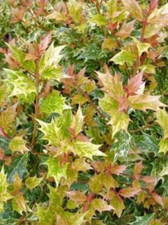 Osmanthe à feuilles variables 'Tricolor'