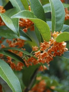 Osmanthus fragrans Aurantiacus - Osmanthe parfumé