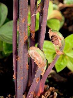 Osmonde royale - Osmunda regalis Purpurascens - Osmonde royale aux frondes pourpres