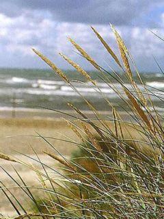 Ammophila arenaria - Oyat - Roseau des sables