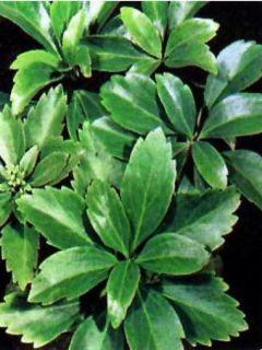 Pachysandra terminalis Green Carpet - Pachysandre du Japon