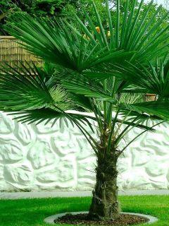 Palmier de Chine- Trachycarpus fortunei pot 5L