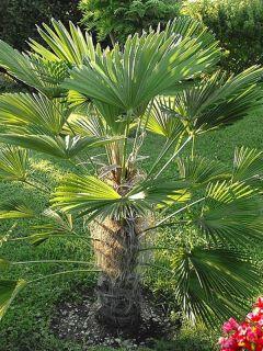 Trachycarpus wagnerianus - Palmier miniature de Chusan