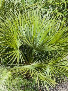 Chamaerops humilis Compacta - Palmier nain