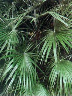 Chamaerops humilis - Palmier nain