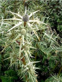 Eryngium variifolium - Panicaut panaché