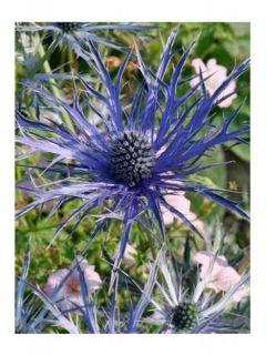 Eryngium x zabelii Violetta - Panicaut, Chardon Violetta