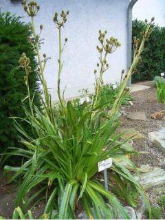 Eryngium Agavifolium, Panicaut