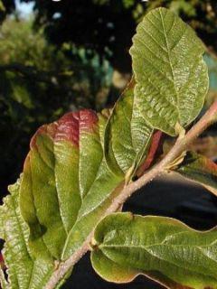 Parrotia persica Vanessa - Arbre de fer