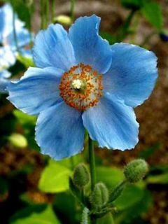Pavot bleu de l'Himalaya