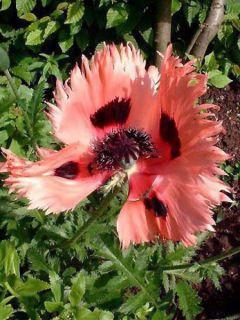 Papaver orientale Pink Ruffles - Pavot d'Orient Pink Ruffles