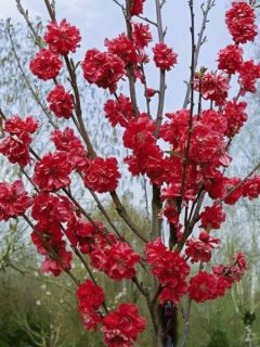 Prunus persica Taoflora Red - Pêcher à fleurs rouge framboise