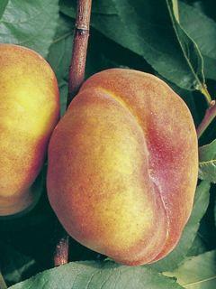 Pêcher Jalousia® - Prunus persica