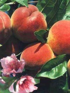 Pêcher Reine des Vergers - Prunus persica