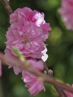 Pêcher 'Taoflora Pink'
