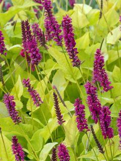 Renouée - Persicaria amplexicaulis Golden Arrow
