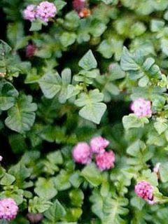 Renouée - Persicaria runcinata Needhams Form