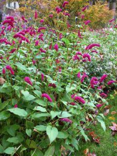 Renouée - Persicaria amplexicaulis var. pendula