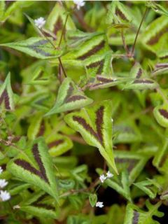 Persicaria runcinata Purple Fantasy - Renouée