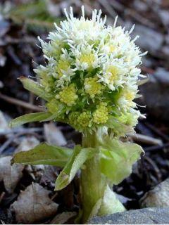 Petasites albus - Pétasite blanc