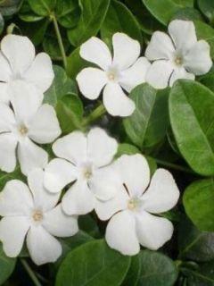 Vinca minor White Power - Pervenche à petite fleurs