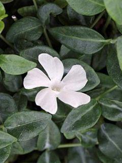 Vinca minor Elisa  - Pervenche à petites fleurs blanches