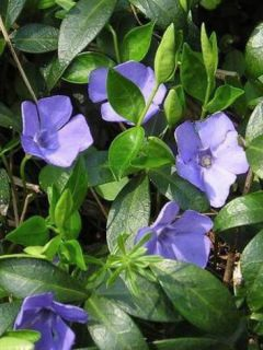 Vinca minor Flower Power - Petite pervenche
