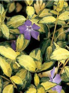 Vinca minor Illumination - Pervenche à petites fleurs panachée