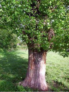 Peuplier d'Italie - Populus nigra Italica