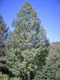 Peuplier Tremble - Populus tremula