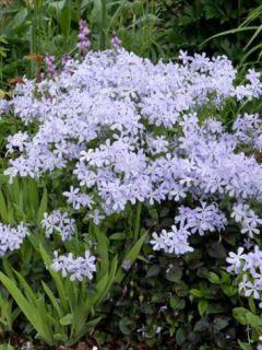 Phlox divaricata Clouds of Perfume - Phlox bleu