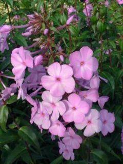 Phlox maculata Alpha