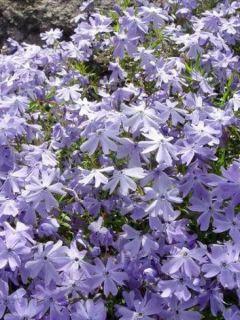 Phlox subulata Emerald Cushion Blue - Phlox mousse bleu clair
