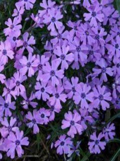 Phlox subulata Purple Beauty
