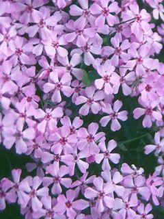 Phlox douglasii Lilac Cloud - Phlox mousse
