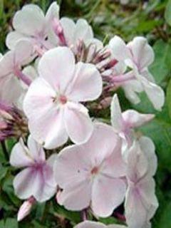 Phlox paniculata Monica Lynden Bell