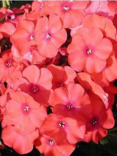 Phlox paniculata Orange Perfection - Phlox paniculé orange vermillon