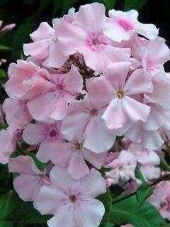 Phlox paniculata Rosa Pastel