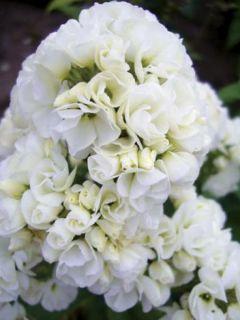Phlox paniculata Tiara - Phlox paniculé double blanc